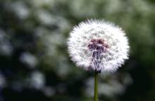 Make a Wish on a Dandelion